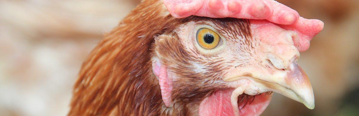 un pollo sin cabeza
